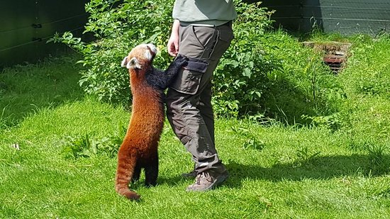 ‪‪The Lake District Wildlife Park‬: Feeding the red panda‬