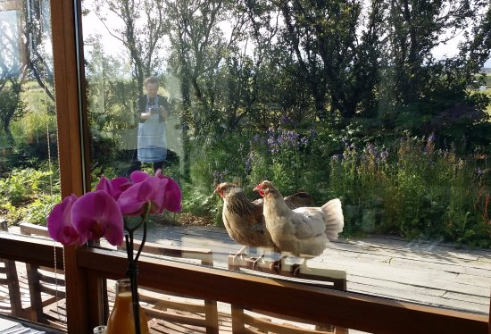 Alftanes, Islândia: Our hens like to join us at the breakfast hall :) ... wonderful social creatures