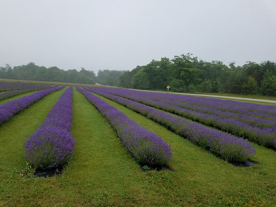 Washington Island, WI: Lavender!