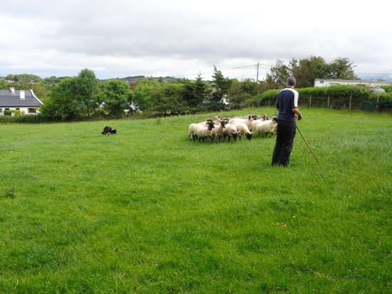 Grange, Irland: Jake and Martin working together to herd the sheep