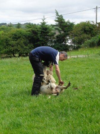 Grange, Irland: Martin hand shearing a sheep