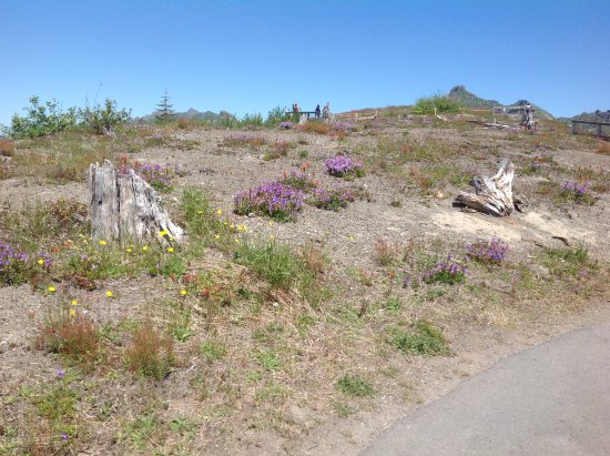 Johnston Ridge Observatory: Dead Trees