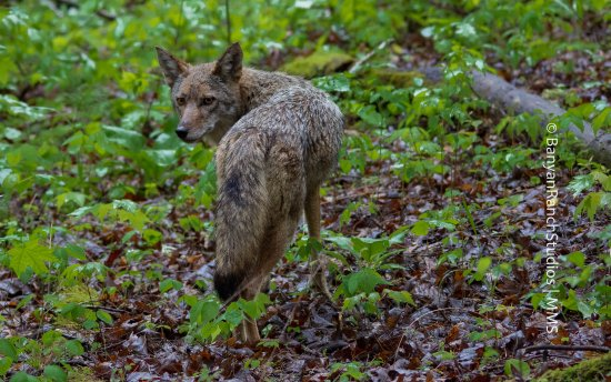 Cosby, TN: Coyote with eyes-on-you, Great Smoky Mtns. National Park, U.S.A.