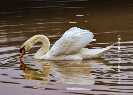 Adairsville, Geórgia: Mute Swan gliding through the morning