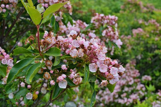 Lebanon, VA: Mountain Laurel