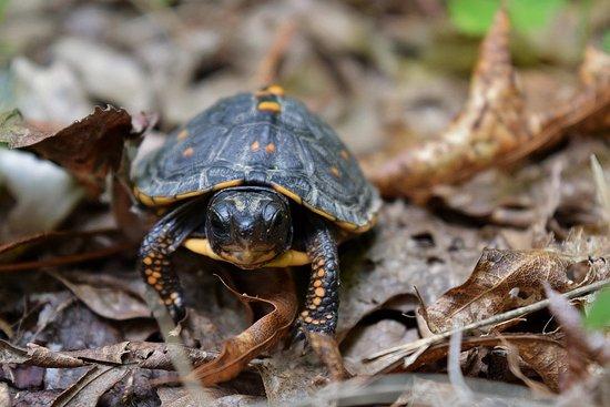 Lebanon, Вирджиния: Baby Box Turtle
