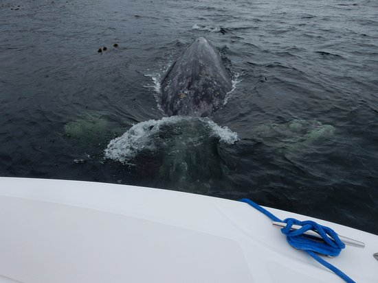 The Whale Centre & Museum: curious grey whale
