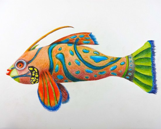 Bernice Color Pencil Fish Drawing By Karin Phifer Picture Of Sandphifer Gallery Pacific Beach Tripadvisor