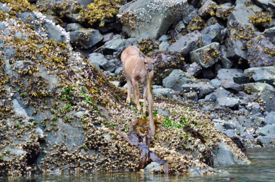 Alert Bay, Канада: I did not know that deer ate kelp!