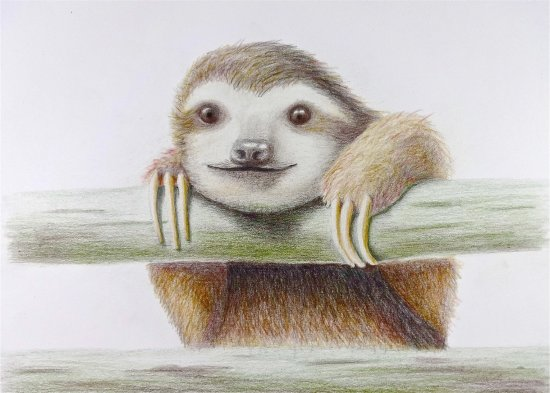 Pacific Beach, WA: Sloan the Sloth, color pencil sloth drawing by Karin Phifer
