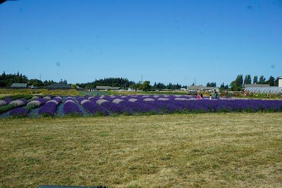 Sequim, WA: B&B Lavender Farm