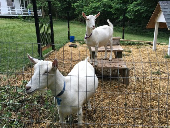 Lambert's Cove Restaurant: Two friendly goats, Ava and Zsa Zsa