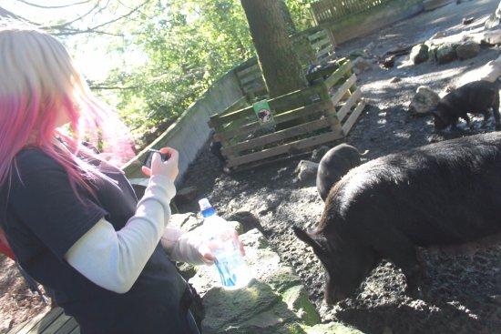 Paradise Valley Springs Wildlife Park: pigs