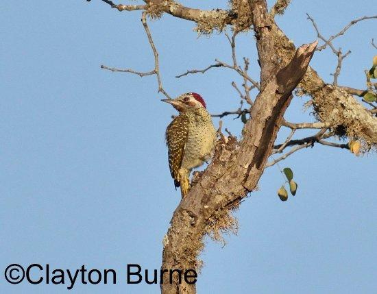 Mkuze, Güney Afrika: Bennett's Woodpecker
