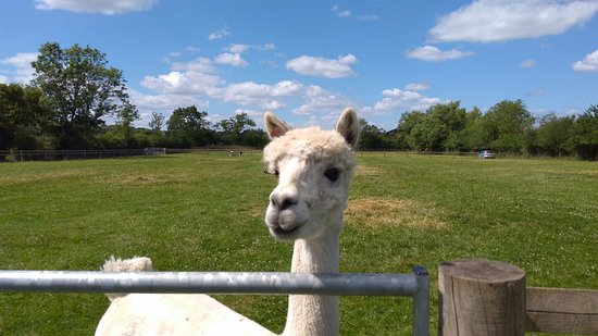 Worcester, UK: Young alpaca sad we're leaving