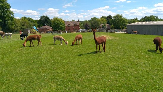Worcester, UK: Alpacas and the workshop/studio in background