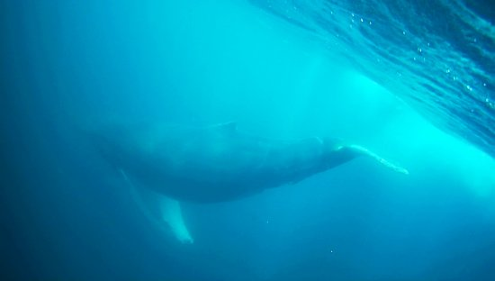 Conception Bay South, Kanada: Humpback whale viewed while snorkeling