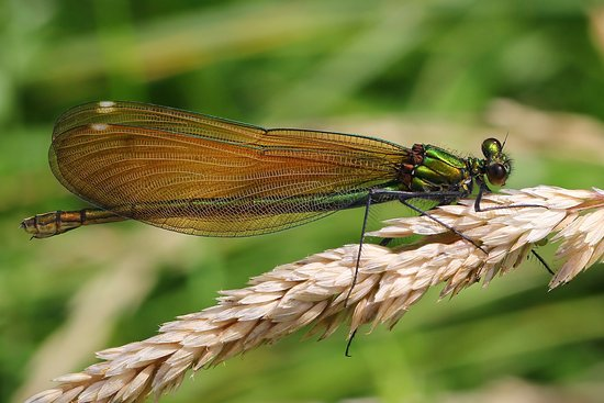 Arne, UK: Beautiful Demoiselle - Calopteryx virgo