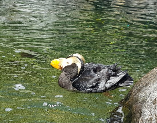 Oregon Coast Aquarium: Duck in the Aviary with crazy blond Elvis 'hair'