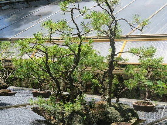 Middletown, NJ: Bonsai Plants
