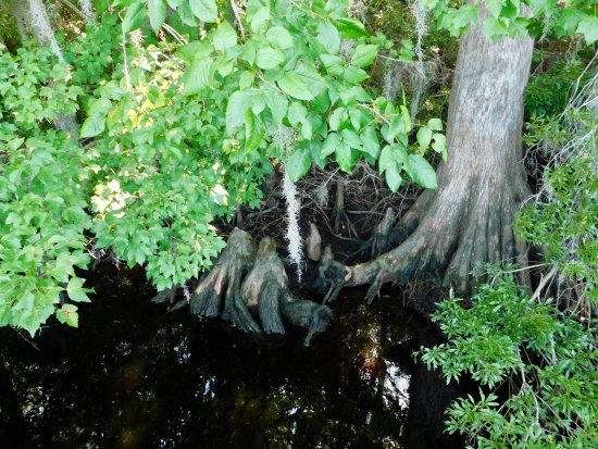 New Bern, NC: Cypress Knees and Cypress from the dock