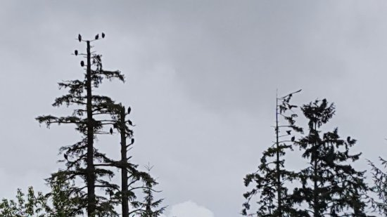 Ketchikan, AK: Both of these trees were filled with bald eagles. Wow!