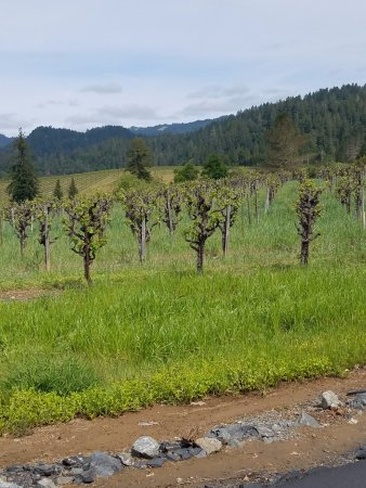 Korbel Champagne Cellars : Vineyard at the winery