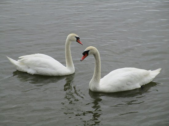 Nida, Lithuania: There are usually swans to feed