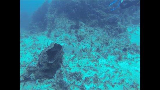 Scuba Playa Dive Shop : Pufferfisch