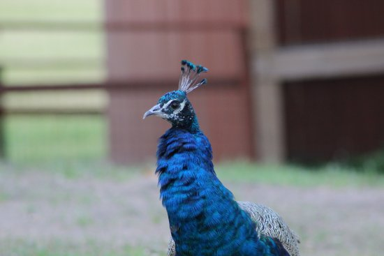 Freeport, MN: Peacock
