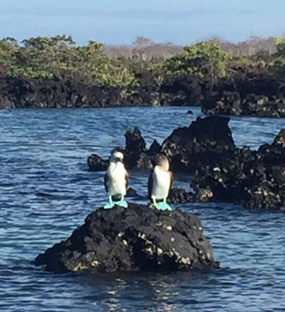 Fernandina, Ecuador: Blue footed boobies