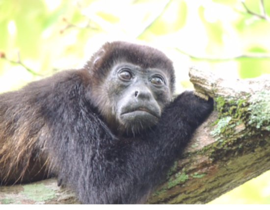 Hotel Luna Azul: Local howler monkey