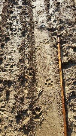 huellas de lobo iberico