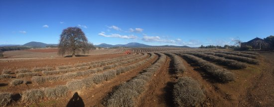 Tasmania, Australia: Lavender farm in winter
