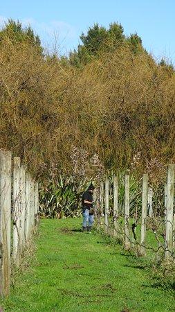 Mangere, Nueva Zelanda: At work in the vines