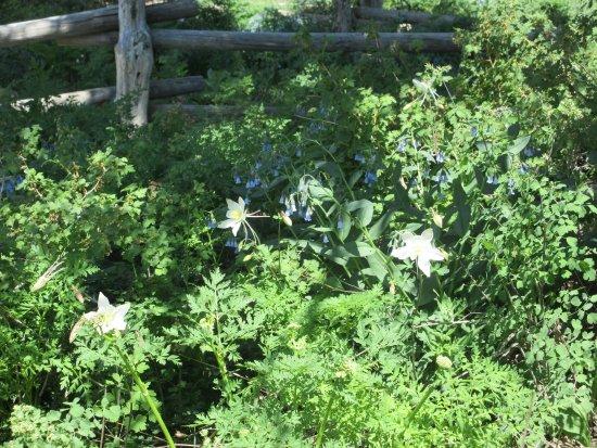 Cedar Breaks National Monument: Der er også blomster, skov og grønne område