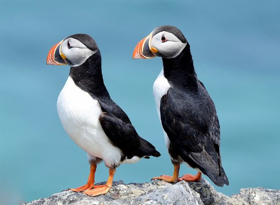 Puffin Hikes