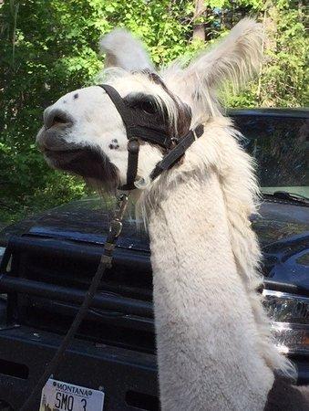 Swan Mountain Llama Trekking: Sweet Llama's