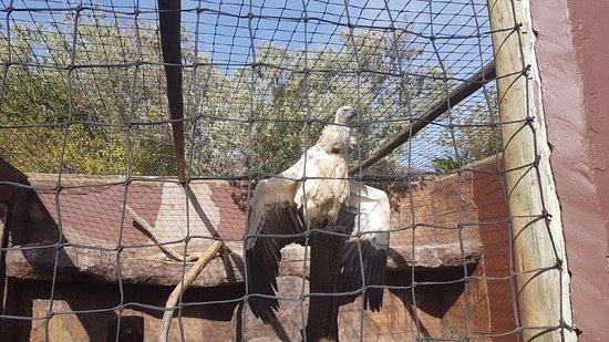 Falcon Ridge Bird of Prey Centre: vulture