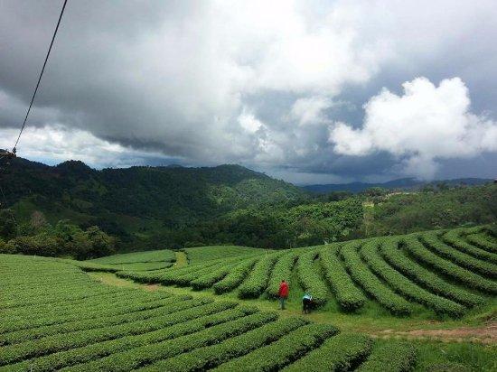 Doi Mae Salong: ไร่ชา 101