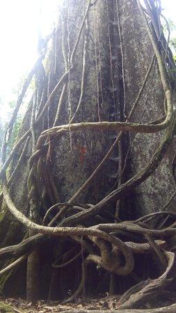 Roger Tours: El  Arbol La LUPUNA o  CEIBA, el Rey de la Amazonia