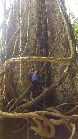 Roger Tours: observen Al Rey De la Amazonia Peruana, el  Arbol LUPUNA mas Conocida como CEIBA