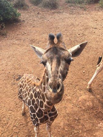 African Fund for Endangered Wildlife (Kenya) Ltd. - Giraffe Centre: photo2.jpg