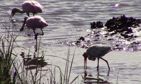 Cedar Key, Φλόριντα: Ibis & Spoonbills