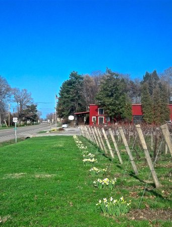 Westfield, Нью-Йорк: Daffodils announce spring at Winery