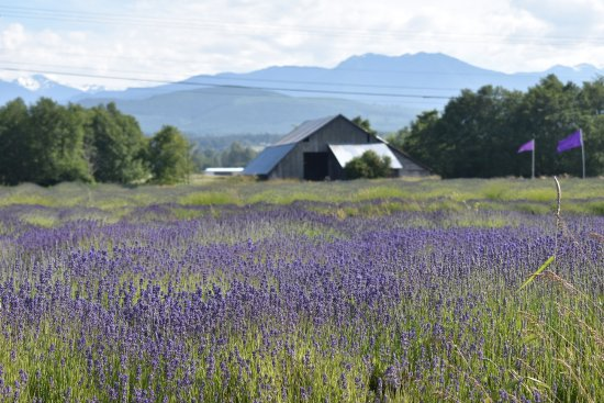 Sequim, WA: Lavender field with the Olympic mountain range in the background.