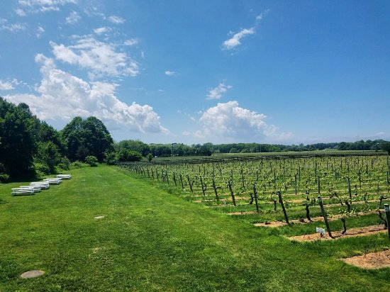 Cutchogue, NY: Vineyard