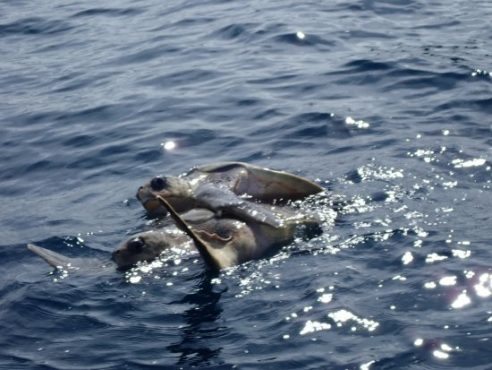 Gulf of Papagayo, Costa Rica: Sea turtles mating