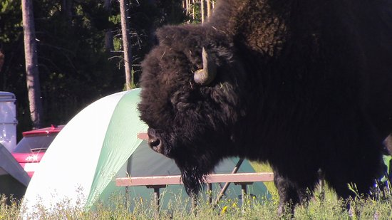 Bridge Bay Campground: One of the many Bison in the campground