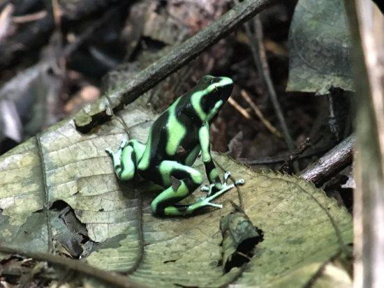 Parrita, Costa Rica: Poison dart frog